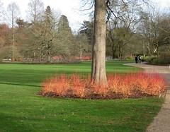 cornus #1 (streetr's_flickr) Tags: rhswisley landscape garden cornus dogwood conaceae