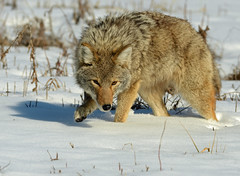 Wiley Coyote (Sun~Lover) Tags: coyote batavia illinois winter fermilab nikkor300 canislatrans prairiewolf canidae explore 2017
