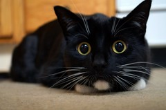 """As the whiskers turns... a daily """"soap-opera"""" show of a dramatic cat (Toby), and his faithful servant (Nica)! (Captions by Nica... (Fieger Photography)) Tags: toby cat catmoments catportrait catseyes eyes pet portrait feline whiskers tabby house indoor quebec canada"""