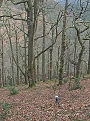 Recording 3 wind chimes and birds, woods above Fingle Bridge (Philip_Goddard) Tags: europe unitedkingdom britain british britishisles greatbritain uk england southwestengland devon dartmoornationalpark drewsteignton teignvalley teigngorge drewstonwood finglebridge recording windchimes views scenery landscapes woodland wood valley hill