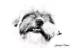 Juste mon chien !!! (François Tomasi) Tags: dog françoistomasi tomasiphotography yahoo google flickr monochrome blackandwhite noiretblanc reflex nikon shihtzu lights light iso photo photographie photography photoshop filtre blanc white france europe janvier 2018 portrait lanouvellerépublique tours touraine villedetours indreetloire digital numérique