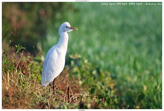 Cattle Egret (गाय बगुला, सुर्खिया बगुला) - Bubulcus ibis (jhureley1977) Tags: cattleegret गायबगुला सुर्खियाबगुला bubulcusibis birds birding indiabirds birdsofindia ashjhureley avibase naturesvoice bbcspringwatch rspbbirders sanctuaryasia orientbirdclub ashutoshjhureley jabalpur jabalpurbirds