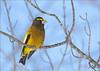 Evening Grosbeak (Coccothraustes vespertinus) (Jake M. Scott) Tags: evening grosbeak coccothraustes vespertinus birds birding minnesota wildlife outside outdoors jakescott canon sigma