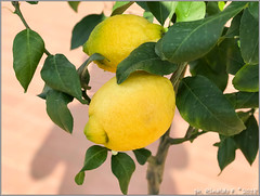 limone.zagarabianca@citrus.it (Rinaldofr) Tags: limone citrus zagara bianca fruit yellow leaf sphere umbone green
