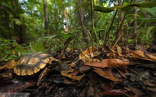 Yellow-footed tortoise- Chelonoidis denticulata