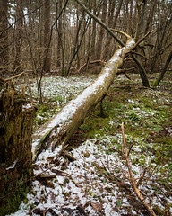 Powdered... (stefanh.varberg) Tags: död landskap natur skog snö stam träd vinter snow winter nature