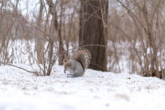 _A7R0950 (mrkakn) Tags: victoriapark squirrel winter eat