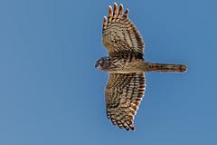 Hunting glide (bodro) Tags: bif bolsachica bird birdhunting birdinflight birdphotography bluesky ecologicalreserve gliding harrier hawk northern onthelookout raptor shallows wetlands