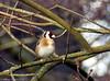 Chardonneret (zogt2000 (No Video)) Tags: oiseau bird parcdescamélias pontlabbé chardonneret