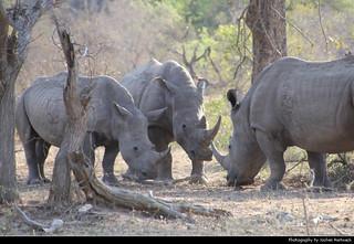 White rhinoceros, Kruger NP, South Africa