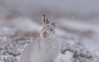 Curiouser and curiouser! (Gowild@freeuk.com) Tags: mountainhare lepustimidus hare mammal winter snow cairngorms nationalpark scotland mountain wild wildlife animal nature andrewmarshall nikon uk