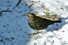Rusty Blackbird by Jackie B. Elmore 1-18-2018 Lincoln Co. KY (jackiebelmore) Tags: euphaguscarolinus rustyblackbird blackbird lincolnco kentucky nikon7100 tamronsp150600f563 jackiebelmore kos