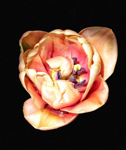 Yellow+Tulip+Fading+-+Edwards+Botanical+Gardens+-++Toronto+Ontario+-+Canada