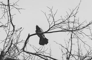 crow on a tree..