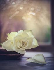 It's raining outside (Ro Cafe) Tags: stilllifelife bokeh drops flowers raining water window rose white setup nikkormicro105f28 nikond600 blanco