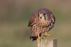 Kestrel (Simon Stobart) Tags: kestrel falco tinnunculus post northeast england ngc coth5 npc