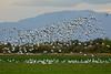 Snow Geese (linda m bell) Tags: sonnybono saltonsea nationalwildliferefuge nwr california socal 2017 birds birdwatching snowgeese