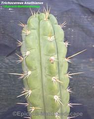 Trichocereus knuthianus (Pic #3 stem growth & spines detailed) (mattslandscape) Tags: trichocereus knuthianus