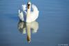 Les jumeaux ! (jean-daniel david) Tags: oiseau oiseaudeau cygne reflet miroir jumeaux lac lacdeneuchâtel bleu blanc fabuleuse