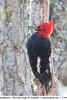 Magellanic Woodpecker - Tierra del Fuego NP, Argentina (Vivek Khanzodé (www.birdpixel.com)) Tags: campephilusmagellanicus genderage wildlife lifer magellanicwoodpecker nature birds tierradelfuegonationalpark argentina male ushuaia malvinas ae