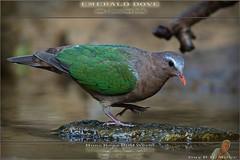 20180116-_5006860-DOVE-Emerald-m-1710 (guy.miller) Tags: bird lamma hk hong kong guy miller
