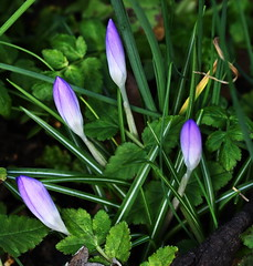 DSC_8791 Crocus (PeaTJay) Tags: nikond750 sigma reading lowerearley berkshire macro micro closeups gardens outdoors nature flora fauna plants flowers crocus