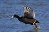 Coot. (the chase). (spw6156 - Over 6,404,003 Views) Tags: coot the chase iso 640 cropped copyright steve waterhouse