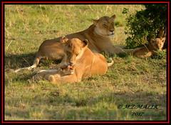 FEMALE LIONESS (Panthera leo) WITH CUBS......MASAI MARA......SEPT 2017. (M Z Malik) Tags: nikon d800e 400mmf28gedvr kenya africa safari wildlife masaimara keekoroklodge exoticafricanwildlife exoticafricancats leo lioncubs lioness