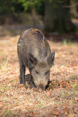 Truffle Snuffler...Wild Boar (www.andystuthridgenatureimages.co.uk) Tags: boar wild woodland leaves feeding forestofdean uk