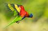 Lorikeet-in-flight_DSC0419 (Mel Gray) Tags: lorikeets birds nature naturallight nikon200500mmlens australianbirds rainbowlorikeets parrot
