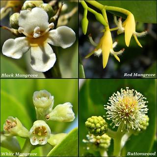 Local Mangrove Tree Blossoms