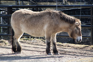 Przewalski's Horse at National Zoo