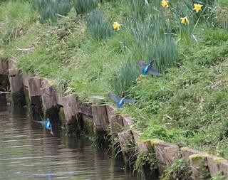Three Kingfishers in Flight