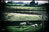 *** (Hayat Sokaklarda) Tags: fatih küçük photography nature shepherd sheep natural outdoor man tree telezoom nikon d5100 70300vr hayat sokaklarda