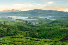Mountain tea plantations in Munnar (Free Online Gallery) Tags: munnar landscape mountain tea plantation green field organic hill beautiful kerala india asia meadow highlands valley morning sunrise fog mist trail path fresh pure nature line freshness incredible unique tree tourism agriculture rural environment plantations plant scene view farmland terrace travelscenic outdoor background