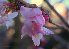 °*° (MargoLuc) Tags: cherry blossoms spring anticipation pink golden bokeh tree petals flowers branches light