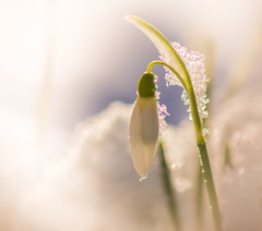 Snowdrop (Peter Quinn1) Tags: snowdrop snow bokeh white garden sheffield