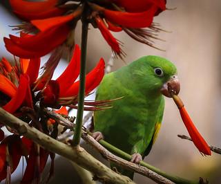 Yellow Chevroned Parakeet Brotogeris South Coast Botanic Garden  Palos Verdes Pennisula California 102