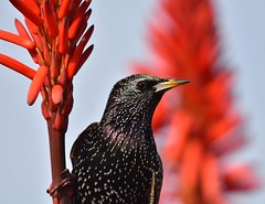 Unpopular (delphinusorca) Tags: starling europeanstarling pacificgrove monterrey california nikon200500f56