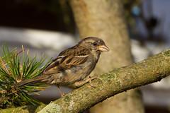 IMG_5246 (Lightcatcher66) Tags: spatzensparrows florafauna makros lightcatcher66