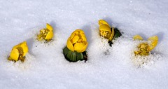 Winterlinge (♥ ♥ ♥ flickrsprotte♥ ♥ ♥) Tags: 58365 winterlinge schnee winter botanischergarten kiel natur kalt flickrsprotte