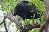 Black Vulture (esle9) Tags: blackvulture bird animal nature wildlife costarica coragypsatratus vulture