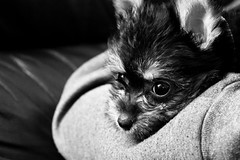 Young Pup (Craperture91) Tags: dog puppy black white monochrome fur eyes ears
