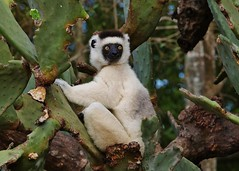 Verreaux's Sifaka (Propithecus verreaux) Relaxing In the Cactus (Susan Roehl) Tags: madagascar2017 islandofmadagascar offtheeastcoastofafrica berentyreserve verreauxssifaka propithecusverreauxi whitesifaka lemur mediumsizedprimate indriidaefamily longtailforbalance animal mammal spinyforestsecosystem southwestmadagascar foundinpoorsubstrates lowrainfallandwater sueroehl photographictours naturalexposures panasonic lumixdmcgh4 100400mmlens handheld cropped outdoor cactus plant forest tree ngc coth5 npc