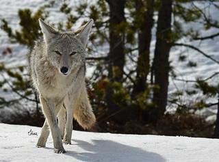 Coyote - 5513b+