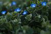 urban wildflowers (donminer) Tags: macro bokeh wildflowers flowers blue green fresh spring nature colorful