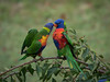 Standing ground (allendoc) Tags: lorikeets