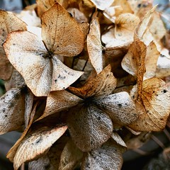 #16/365: dried hydrangea head (Tracey Paterson) Tags: simplethings flora nature hydrangea driedflowers
