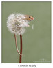 Flower for the ladies (deanmasonwp) Tags: nature wildlife animal mammal rodent tiny small harvest mouse mice dandelion clock flower ladies cute aww dean mason windows dorset nikon petal seed