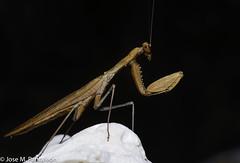 9-El color del adulto lo determina el del medio en el que habita durante su última muda (por ejemplo, amarillo, si se trata de paja seca, o verde, si es hierba fresca).  Es el único animal conocido que cuenta con un único oído, y lo tiene en el torax! (Cimarrón Mayor 14,000.000. VISITAS GRACIAS) Tags: kingdomanimalia phylumarthropoda classinsecta ordermantodea familymantidae subfamilystagmomantinae genusstagmomantis lugardecapturaislabeata repdominicana dominicanrepublic quisqueya repúblicadominicana caribe républiquedominicaine caraïbes caraibi repubblicadominicana dominikanischerepublik karibik karaiby dominikana dominikarerrepublika karibe dominikanskerepublik caribien dominikanskerepublikk karibien доминиканскаяреспублика карибскийбассейн cimarrónmayor panta pantaleón josémiguelpantaleón objetivo500mm telefoto700mm 7dmarkii canoneos canoneos7dmarkii naturaleza libertad libertee libre free fauna dominicano montañas